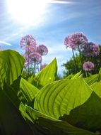 light purple flowers with large green leaves in a sunny garden
