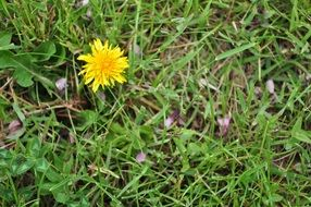 yellow dandelion in a green meadow