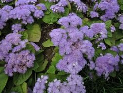 lush plant with bright purple flowers