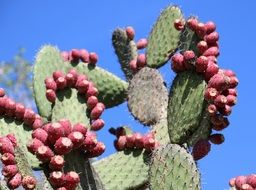 prickly pear with fruits