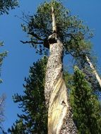 twisted pine trunk