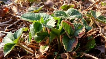strawberry plant in spring