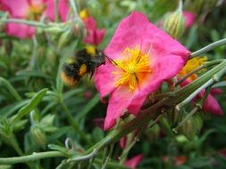 fluffy bee collects nectar from a pink flower