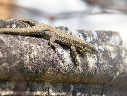 lizard on the fence