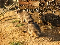 two meerkats on sand