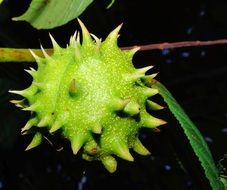 prickly chestnut fruit close up