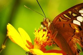 butterfly on inflorescence of a yellow flower