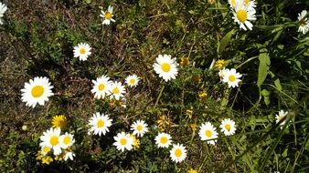 Small daisies on a meadow