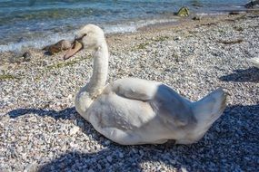 white swan on the shore