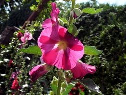 hollyhock rose flower