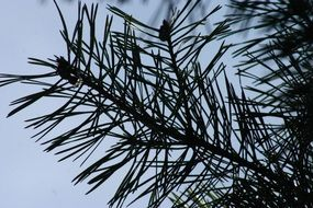 long pine tree needles