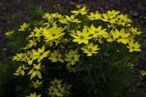 small flowering shrub with yellow flowers