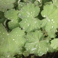 plant leaves in dewdrops