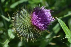 purple thistle bloom macro photo