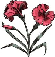 clipart of the pink carnation flowers