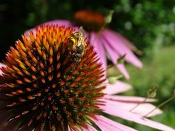 eastern purple coneflower with a bee