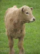 calf on green grass