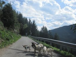 a herd of goats on a mountain path