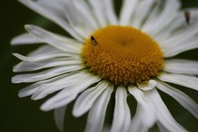 small insect on a white camomile