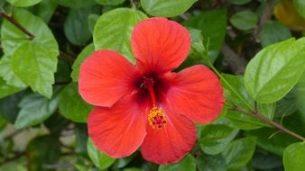 red hibiscus or mallow