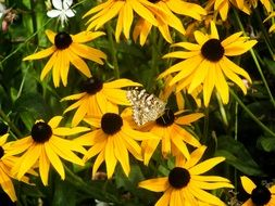 Butterfly among yellow flowers