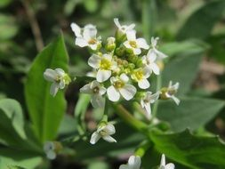thlaspi arvense field penny-cress