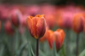 blooming colorful tulips in the garden