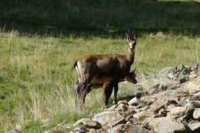 wonderful chamois animals