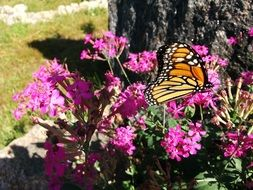 monarch butterfly on a bush with red flowers