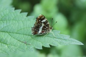 striped butterfly on a green leaf