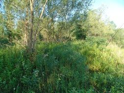 Lush vegetation by the river Drava