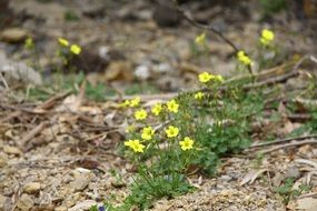 small yellow spring flowers