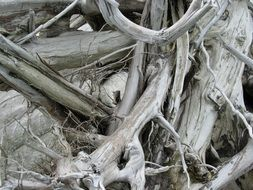 black and white photo of a tree with roots