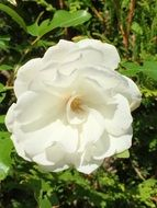white rose natural flower