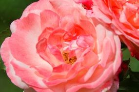 pink rose bloom natural flower