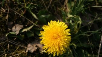 yellow dandelion in forest