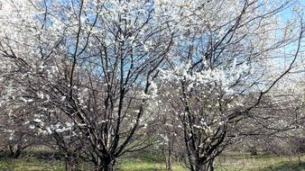 orchard trees in spring