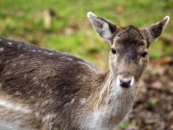 photo of fallow deer in the wild forest