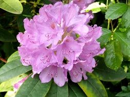 lilac flowers of rhododendron