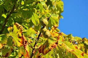 Sunny autumn chestnut tree leaves