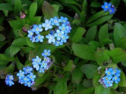forget-me-nots are blue flowers