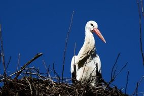 stork sitting in a nest