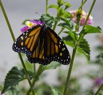 orange monarch butterfly on flower