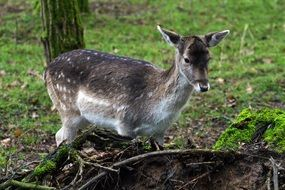 fallow deer near a tree in the forest