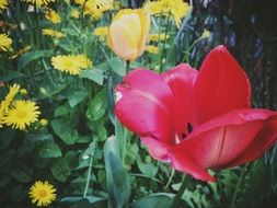 red tulip among yellow flowers