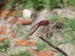 red dragonfly on a dry stem of a plant