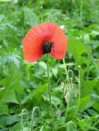 wild poppy blooming on meadow at summer