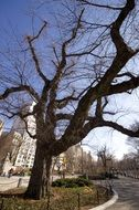 dry tree in Central Park in New York City