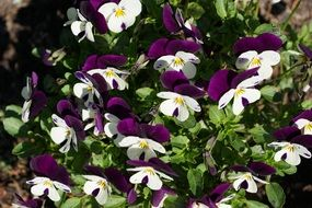 Purple White flower spring blossom bloom plant