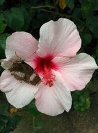 Butterfly on a pale pink flower
